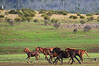 A quick canter across the plain to dry off (iSPY Photography) Tags: brumbies wildhorses highcountry alpine australia slaughter in danger nationalpark nsw national parks environment