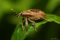 weevil side (striving67) Tags: weevil insects macro bugs snout