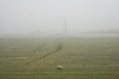 West-Graftdijk (Fromthepolder) Tags: platteland agrarisch agricultuur boerderij electriciteit electriciteitsmast energie gras grazen mast mist natuur noordholland polder ruimte schaap schapen schermer spoor weiland westgraftdijk winter