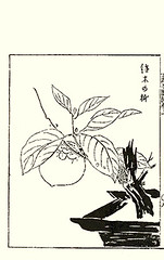 Japanese persimmon (Japanese Flower and Bird Art) Tags: flower persimmon diospyros kaki ebenaceae ippo hanabusa woodblock picture book japan japanese art readercollection