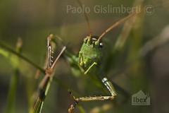 Cavalletta, Grasshopper (paolo.gislimberti) Tags: macro animals animali insects insetti invertebrati invertebrates erba grass mimicry mimetismo