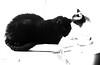 little man and Gandalf ignore each other monochrome (PDKImages) Tags: cat black ragdoll monochrome pet animal feline blackcat asleep eyes calming
