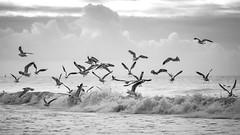 Birds @ sea B Black&White (Drummerdelight) Tags: seaside seagulls seascape blackwhite waves