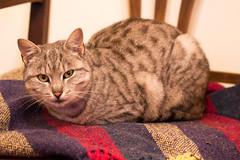 tiger cat (Jules Marco) Tags: tigercat tigerkatze cat katze animal animalplanet tier canon eos600d tamronsp90mmf28divcusdmacro11f004 macroobjektiv macrolens chair sessel stuhl armchair decke blanket