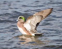 Widgeon Drake stretching (tresed47) Tags: 2017 201701jan 20170126semarylandbirds birds cambridge canon7d content ducks folder maryland peterscamera petersphotos places takenby us widgeon