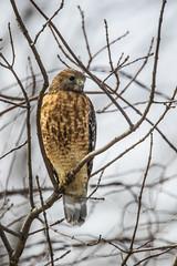 _S4I6790 (Samuel Maglione) Tags: buteolineatus mercerpark nj redshoulderhawk