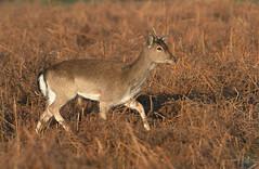 Fallow-Deer-0741 (Kulama) Tags: fallowdeer deer nature wildlife woods bracken fern animals spring canon7d sigma150600563c