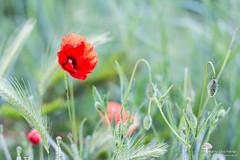 se faire remarquer (photosenvrac) Tags: macro nature fleur bokeh champs coquelicot beauce sologne sigma150 thierryduchamp