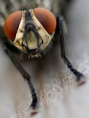 (Px4u by Team Cu29) Tags: makro insekt tier fliege blutsauger bremse tabanidae dase zweiflgler dasselfliege brme brmer blinderkuckuck