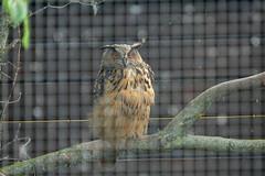 Gufo (owl) (Alberto1x3) Tags: gufo owl berlin zoo lumix fz1000 alberto terzi