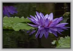 07-07 Longwood_IMG_1799-Edit (Jerry Keefer) Tags: flowers plant flower reflection green water pond purple watergarden longwoodgardens waterlilly