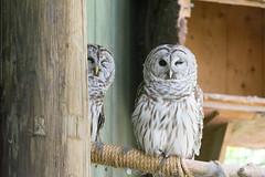 Barred Owls (bellemarematt) Tags: bird vermont natural science institute raptor owl prey vins