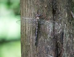 dragon fly on cedar (long.fanger) Tags: bark cedartrunk dragonfliy