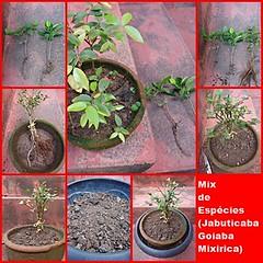 Mix de Jabuticaba Goiaba Mixirica (10) (jemaambiental) Tags: mamadeira jabuticaba bonsais goiaba mixirica prébonsais bonsaístas preparaçãodebonsais mixdeespécies