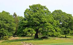The old oak (Ib Aarmo) Tags: tree field forest oak farm eik eiketre