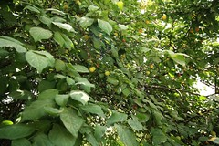 Goji tree (I think) (blondinrikard) Tags: travel iran tehran teheran saadabad 2015 thesaadabadpalace کاخسعدآباد