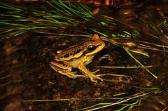 Hypsiboas aff. joaquini (Junglenews) Tags: frogs amphibians riograndedosul treefrogs perereca serragaúcha anura amphibia hylidae sãofranciscodepaula anfíbios anuros hypsiboas