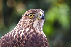 Young Coopers Hawk (richcz3) Tags: california bird birds garden outdoor hawk feather southerncalifornia southbay torrance coopershawk