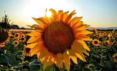 I'm the Sun...7526 (stranger_bg) Tags: new flowers blue sunset red sunlight plant flower green nature colors field yellow landscape photo nikon bright photos outdoor picture stranger poppy sunflower depth