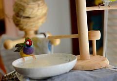 DSC_7832 (Jenny Yang) Tags: pet bird lady finch gouldian