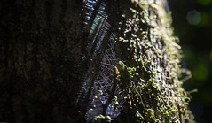 made out of shadows (dustaway) Tags: shadows spiderweb light rainforest victoriaparknaturereserve trunk nationalparksandnaturereserves alstonvilleplateau dalwood northernrivers nsw nature australia