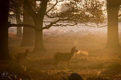 Sunrise in the Woods (4orty7even) Tags: britain british december england english europe fall richmondpark surrey uk unitedkingdom wildlife autumn breath countryside deer early female golden hind mammal mist morning nature outside pair red sunlight sunrise trees two winter woodland woods