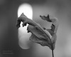 In suspension (l'imagerie poétique) Tags: limageriepoétique poeticimagery hmbt feuille leaf bokeh 100mmmacrolens