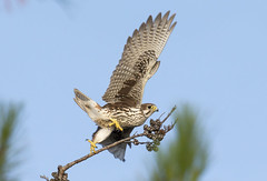Prairie Falcon 2016 (Hockey.Lover) Tags: prairiefalcon explore