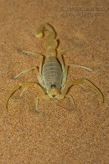 319A4444 Scorpion - Buthidae Apistobuthus pterygocercus in Sharjah desert (Priscilla van Andel - Shifting houses) Tags: scorpion buthidaeapistobuthuspterygocercus sharjahdesert buthidae arabianscorpions yellowscorpion
