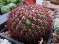 Sulcorebutia mentosa (juan_y_ana) Tags: sulcorebutia mentosa