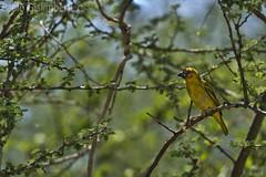 Tessitore, Weaver (paolo.gislimberti) Tags: ethiopia etiopia animaliambientati animalsintheirenvironments boscaglia bush rami branches uccelli birds mimicry mimetismo