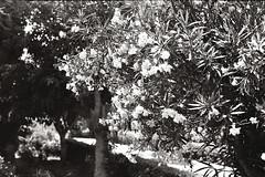 Flowers (samyderni) Tags: delta100 delta 100 konica autoreflex t2 hexanon 52mm analog argentique nb bw street rabat morocco maroc ilford black grey white perspective flower flowers contrast exposure nature life oudaya highlights