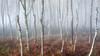 Pole Dancers (J C Mills Photography) Tags: peakdistrict derbyshire woodland forest trees birch mist fog light bracken landscape england