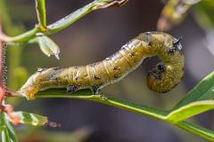 Grevillea Caterpillar (Oenochroma vinaria) (danny.mccreadie2) Tags: grevillea caterpillar oenochroma vinaria
