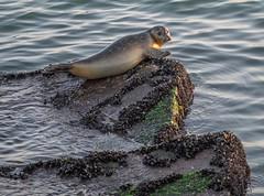 20161219-1541-42 (Don Oppedijk) Tags: seal zeehond piervanijmuiden cffaa