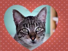 il mio amore il mio gatto... (MaPeV) Tags: morris bellolindoguapetón gatos cats chats kawaii felin neko gatti gattini gattoni tabby chat katze gato kitty tabbyspoted powershot canon g16 amore mio