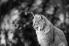 Waiting (Fotos aus OWL) Tags: tierparkolderdissen pinselohr raubkatze katze lynx luchs