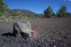 Good luck to grow up here! (annelaurem) Tags: america arizona az bluesky hill lava nationalmonument rocks sunsetcratervolcanonationalmonument trees usa volcano