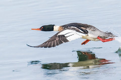 On the run... (cbjphoto) Tags: bolsachica carljackson ecological male mergusserrator photography reserve avian beach bird california diving duck huntington inflight merganser redbreasted