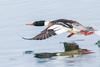 On the run... (cbjphoto) Tags: bolsachica carljackson ecological male mergusserrator photography reserve avian beach bird california diving duck huntington inflight merganser redbreasted