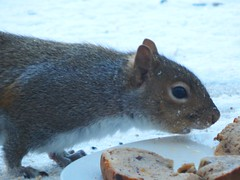 Gray Squirrel Looking for Eats (starmist1) Tags: squirrel graysquirrel snow cold deck winter food peanuts birdseed bread january