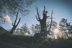 塔塔加夫妻樹 (Sam's Photography Life) Tags: 夫妻樹 塔塔加 樹 老樹 green nature canon 1dx 1d 1635 landscape 風景 嘉義 阿里山