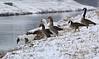 auf geht´s (jueheu) Tags: winter gans gänse hausgans graugans kanadagans fluss vechte river water wasser schnee januar schüttorf niedersachsen nordwestdeutschland germany deutschland