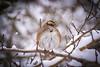 Fluffy Sparrow (djrocks66) Tags: nature outdoors winter cold snow sunset sunrise animals wildlife deer run beach ocean dunes water shore rocks birds bif long island ny fuji fujifilm xt2 landscapes waterscapes oceanscapes hiking