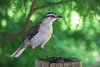 Calandria (javierinsitu) Tags: calandria bird ave pajaro nature naturaleza argentina sudamerica nikon