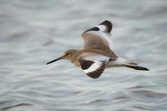 Crossing (gseloff) Tags: willet bird flight bif wildlife surf bolivarflatsshorebirdsanctuary houstonaudubonsociety galvestoncounty texas gseloff