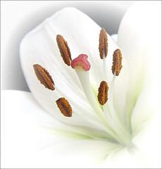 Serenity (Mary Faith.) Tags: lily white stamen macro nature pistil perfume pollination