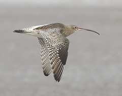 Curlew (Carl Bovis Nature Photography) Tags: curlew wader bird waterbird shorebird flying fly flight inflight nature beach sandbay somerset england uk carlbovisnaturephotography