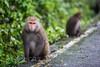 20170131-8M7A5464 (chris_peng) Tags: 獼猴 猴子
