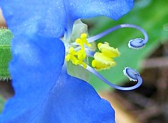 8.24.08 (sunshadows) Tags: blue white macro green yellow heart bokeh dayflower naturesfinest sanmarcostexas macrolicious itslove bej bokehlicious abigfave platinumphoto anawesomeshot allrightsreserved ysplix theunforgettablepictures commelinadianthifolia goldstaraward awesomeblossoms forkirkandmanyyears